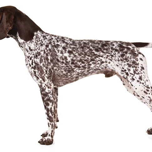German-Shorthaired-Pointer-On-White-07